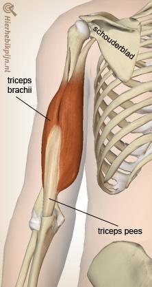 arm triceps spier pees schouderblad elleboog