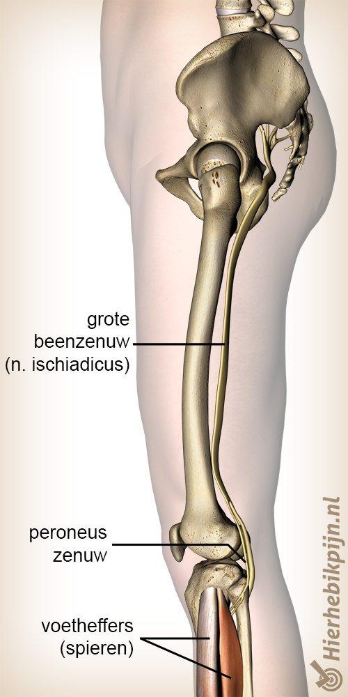 been peroneus zenuw tibialis oorsprong nervus ischiadicus
