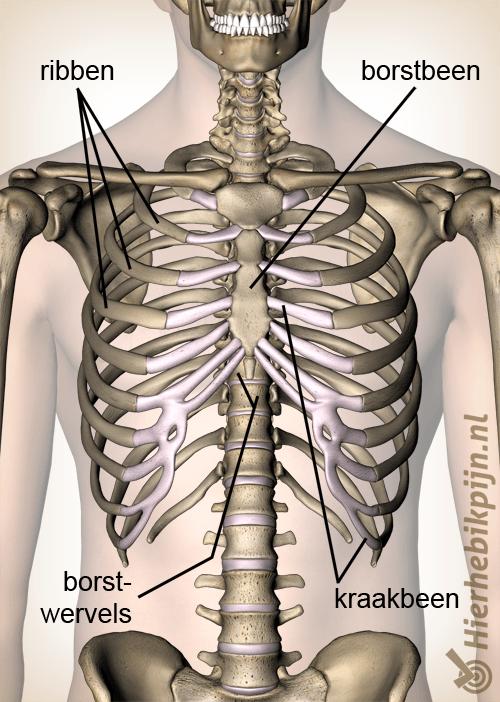 anatomie borst
