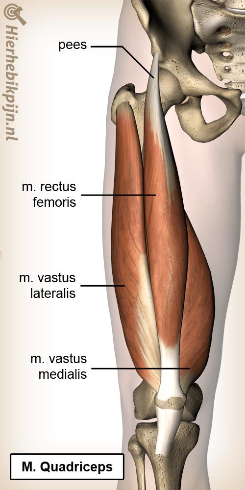 anatomie bovenbeen