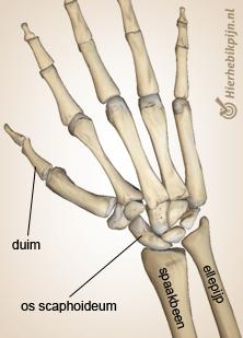 hand scaphoideum
