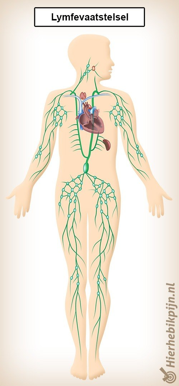 lymfevaatstelsel lymfevaten hart nieren