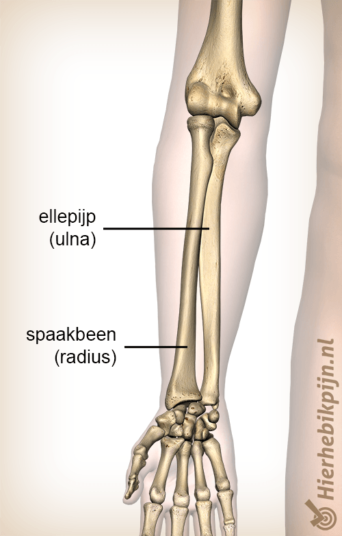 anatomie onderarm