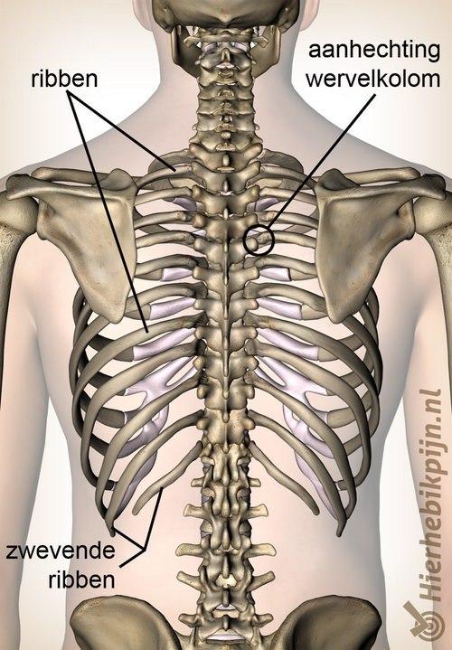 ribben achteraanzicht rug zwevende rib aanhechting