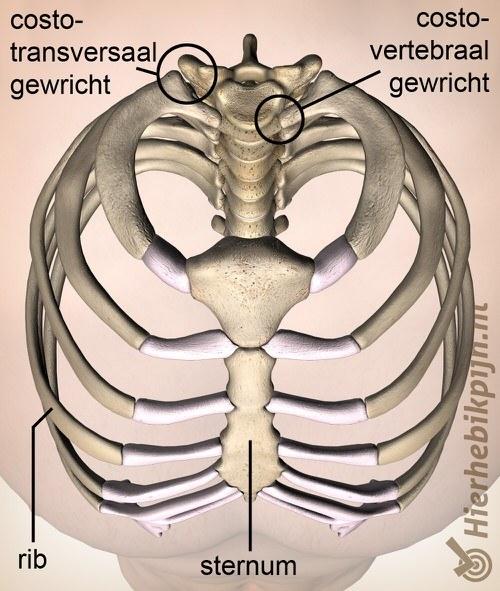 ribben borstkas bovenaanzicht costotransversaal costovertebraal gewricht