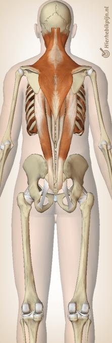 rug musculatuur bovenrug spieren trapezius erector spinae intercostalis spinalis