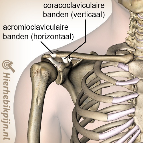 schouder ac gewricht banden acromioclaviculaire ligament coracoclaviculaire trapezoid conoid