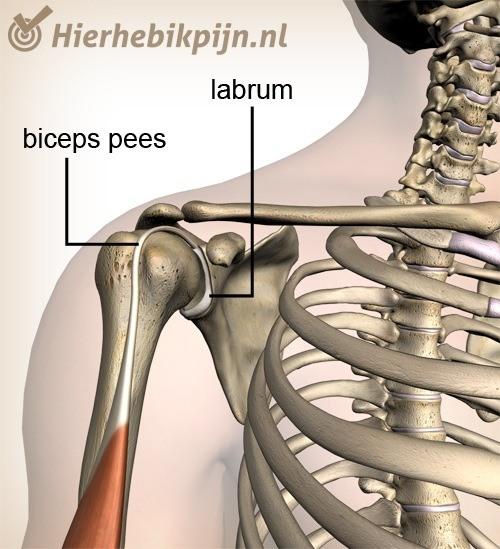 schouder labrum biceps