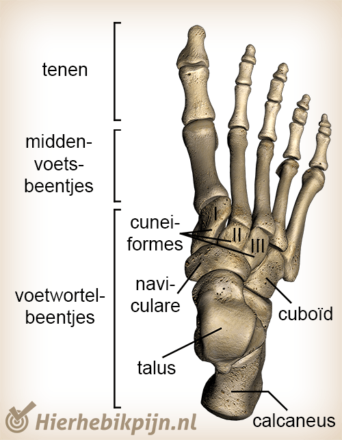 anatomie voet
