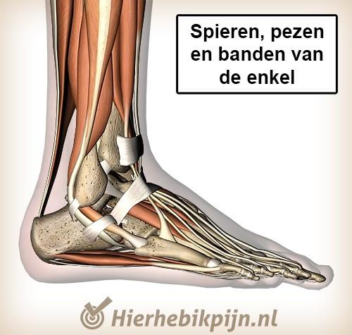 voet lateraal spieren pezen banden enkel