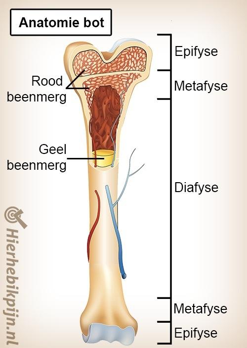 anatomie bot groeischijf beenmerg 2
