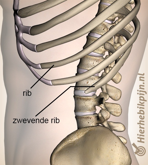 borstkas zwevende rib ribben zijkant