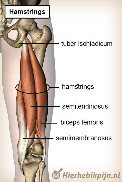 bovenbeen hamstrings
