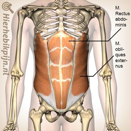 buik rechte schuine buikspieren musculus rectus abdominis obliquus externus