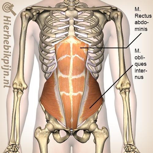 buik rechte schuine buikspieren musculus rectus abdominis obliquus internus