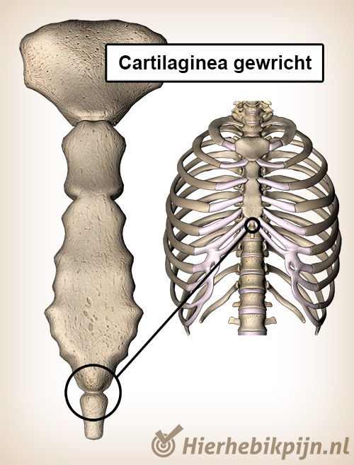 cartilaginea