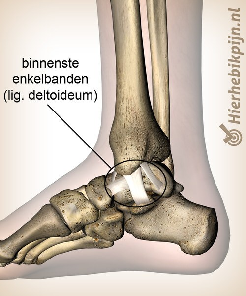 enkel binnenste mediale enkelbanden ligamentum deltoideum
