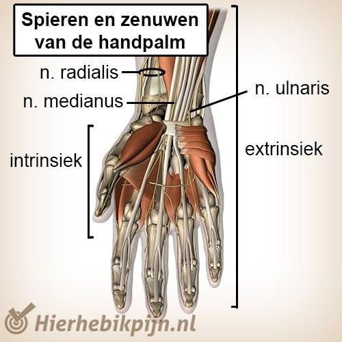 hand spieren pezen zenuwen palmair 5