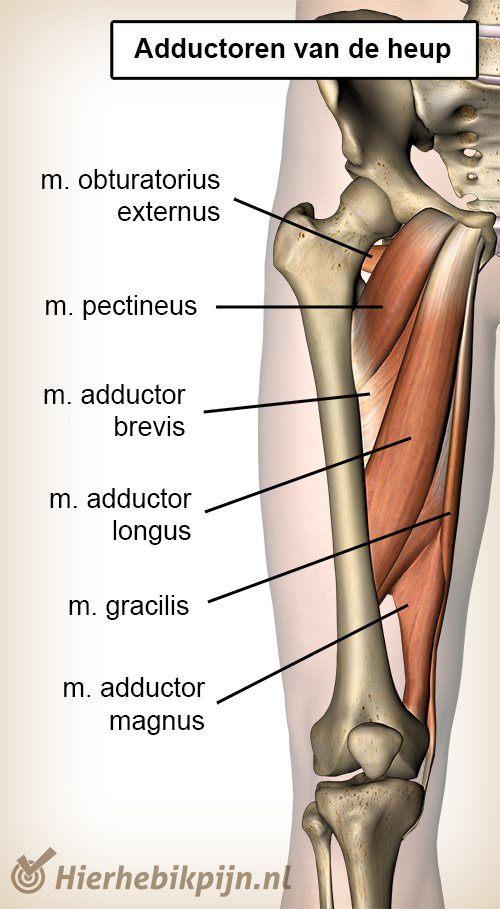 heup adductoren ventraal