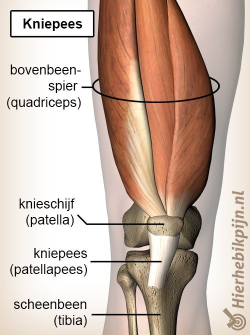 knie kniepees pattellapees quadriceps