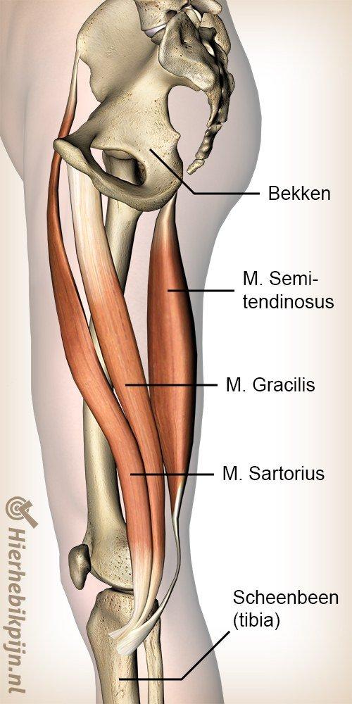 knie pes anserinus musculus sartorius gracilis semitendinosus spieren ganzenpoot