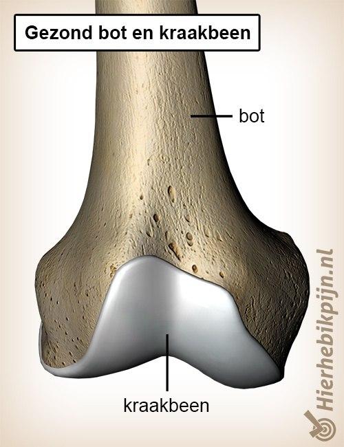 kraakbeen gezond bot anatomie cartilago