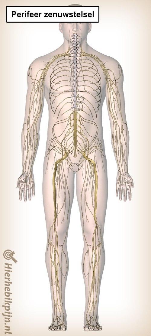 perifeer zenuwstelsel
