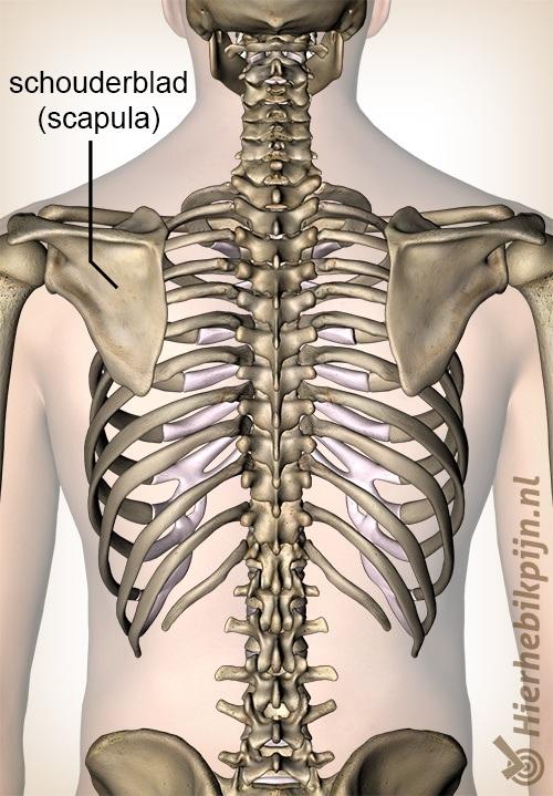schouder schouderblad scapula
