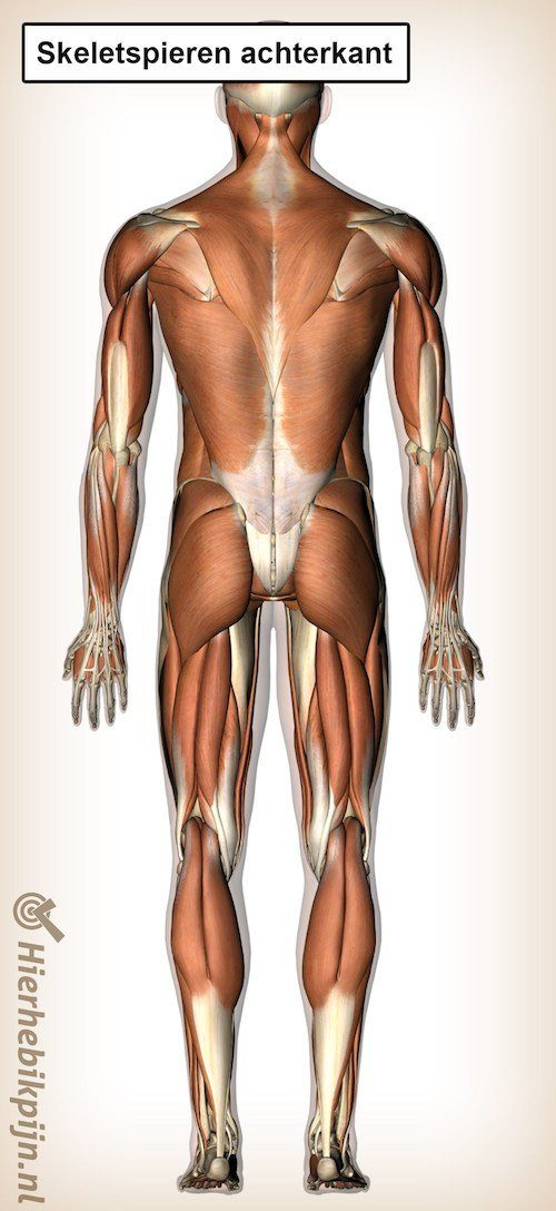 skeletspieren achterkant 3
