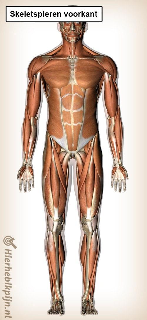 skeletspieren voorkant 2