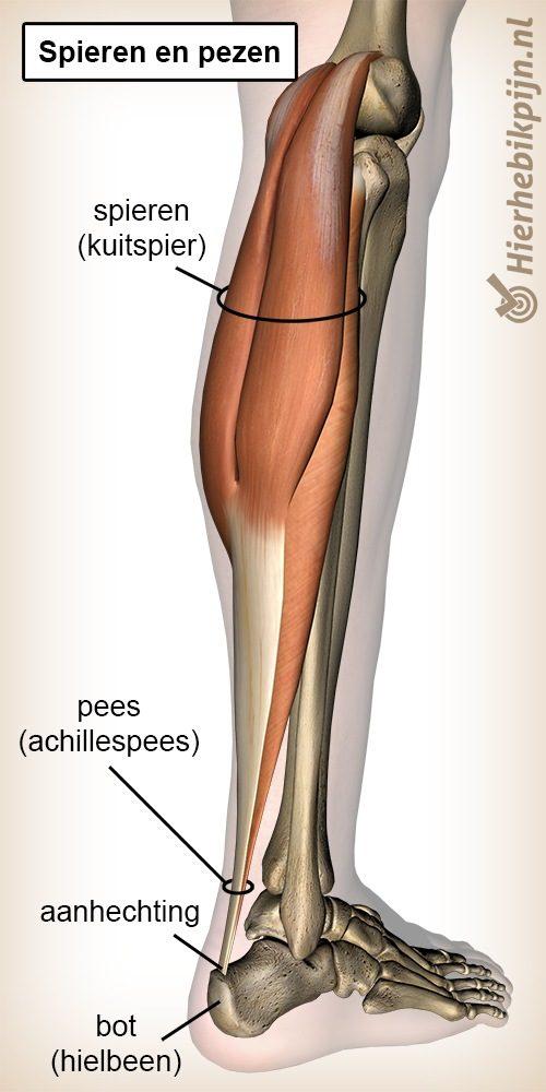 spier pees spieren pezen aanhechting