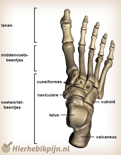 Anatomie van de voet | Anatomie | Hier Heb Ik Pijn