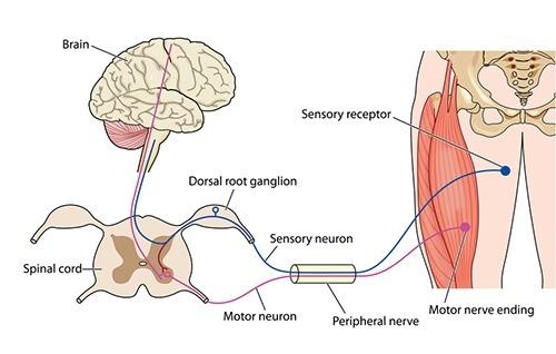 zenwustelsel zenuw motorisch sensorisch
